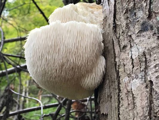 what is lions mane mushroom